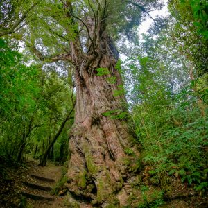 Ancient totara, Dennistoun Bush