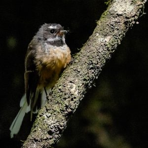 Fantail/piwakawaka, Big Tree Walk